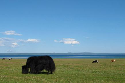 A yak at Lake Khovsgol, Mongolia. Image credit: Stephanie McDonald/Computerworld Australia.